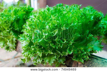 Fresh butterhead salad lettuce in the field