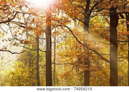 Sun Beams Through Leafage In Autumn