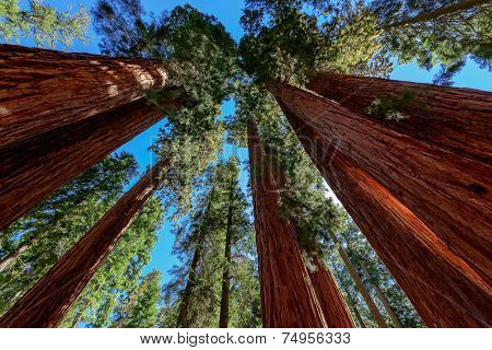 Giant sequoia trees in Sequoia National Park, California.