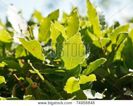Green Leaves Of Laurel Tree Close Up Outdoors