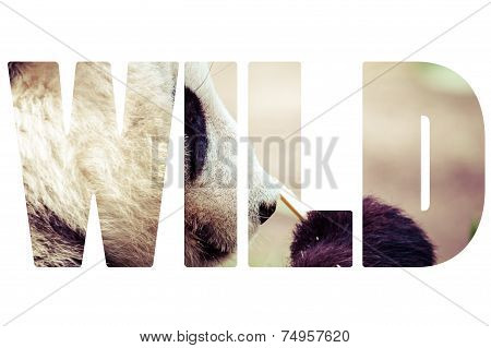 Word Wild Giand Panda Bear Eating Bamboo