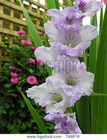 White and Lilac Gladioli