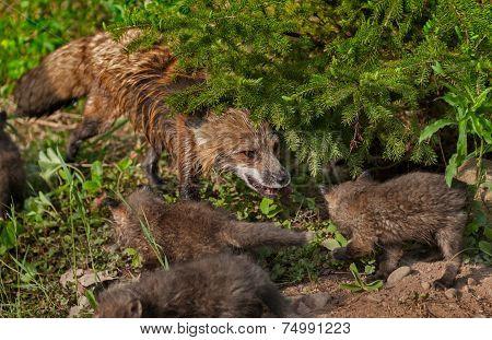 Red Fox Vixen (vulpes Vulpes) And Kits