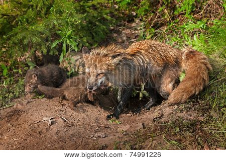 Red Fox Vixen (vulpes Vulpes) And Two Of Her Kits At Densite