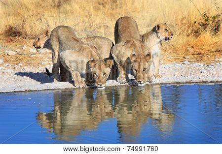 Lions drinking from a waterhole