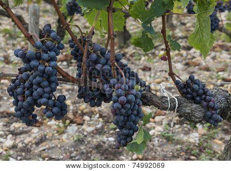 Grapes Vinyard Chateau Leoville Poyferre