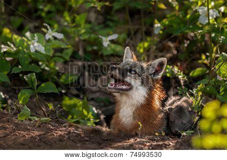 Grey Fox Vixen (urocyon Cinereoargenteus) Looks Up With Kit