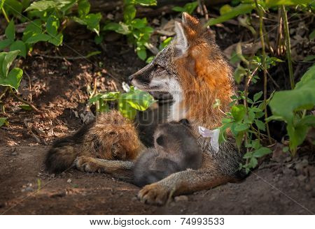 Grey Fox Vixen (urocyon Cinereoargenteus) Alertly Looking Left At Densite With Kit