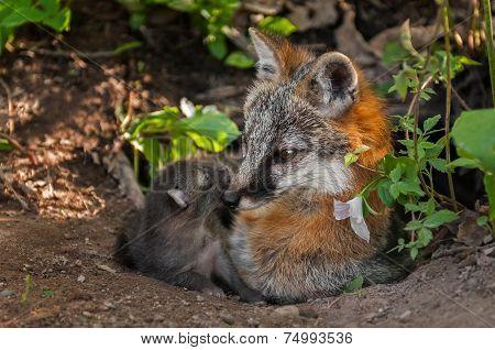 Grey Fox Vixen (urocyon Cinereoargenteus) And Her Kit At Den