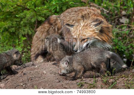 Red Fox Vixen (vulpes Vulpes) And Kits Inspect Densite