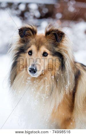 Sheltie outdoors in winter