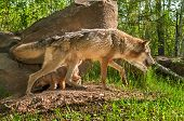 Grey Wolf (Canis lupus) and Pup Cross Paths - captive animals poster