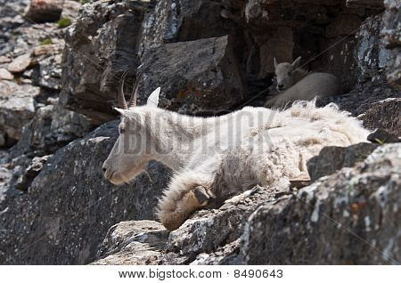 A mother mountain goat rests on a rock ledge with her young kid in Logan Pass Glacier National Park Montana. poster