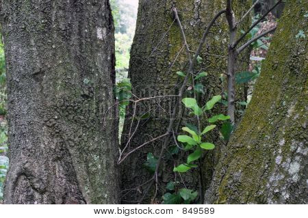 Three Tree Trunks And New Growth