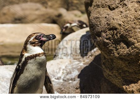 Humboldt Penguin (Spheniscus Humboldt) in a zoo, Barcelona Zoo, Barcelona, Catalonia, Spain