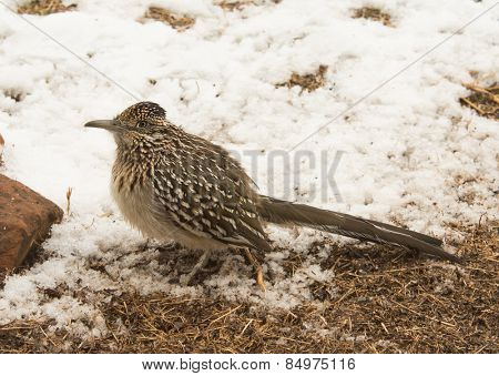 Greater roadrunner waiting for prey on the edge of a snowy patch