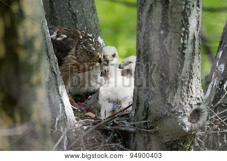 Adult cooper's hawk feeding its chicks in a stick nest in a tree poster