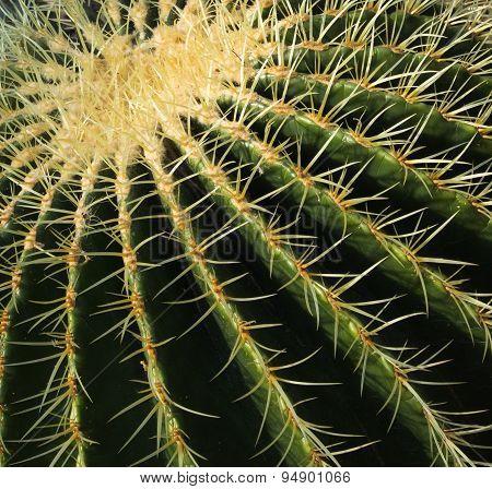 Close-up Barrel cactus