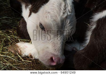 Close up of calf's head