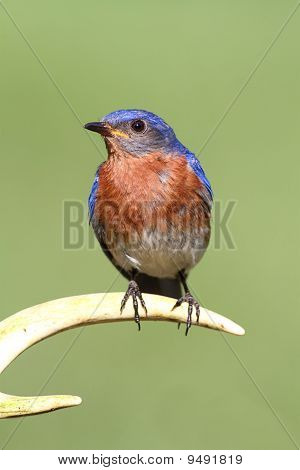 Male Eastern Bluebird (Sialia sialis) on a deer antler with a green background poster
