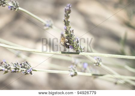 Lavendar Herb Bush Honey Bee Sucking Nectar