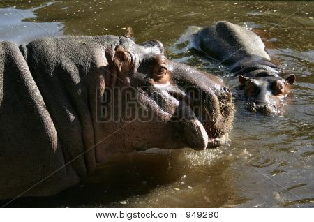 photo of two hippos in water lit by summer sun poster
