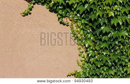 Background Of Green Ivy On Concrete Wall