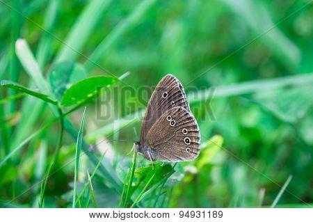 Gray Hairstreak butterfly feeding on a spring flower