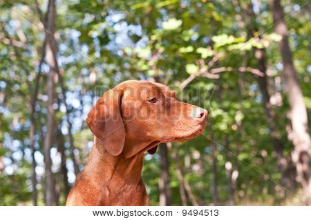A Hungarian Vizsla dog in profile with blue sky and trees in the background. poster