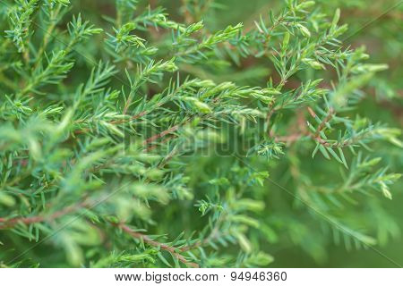 Pine Branch On A Green Background