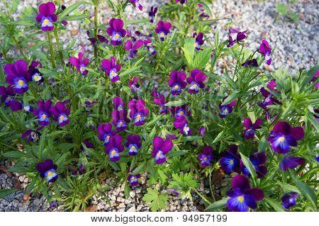 Beautiful flower pansy