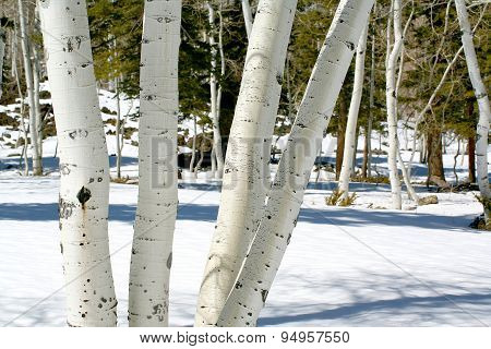 Aspens in snow during spring thaw
