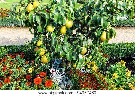 Great plenty of fruits on dwarfish pear tree