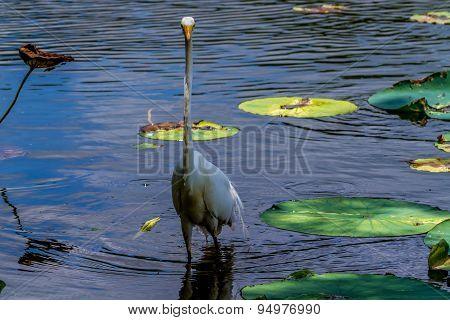 A Large Great Blue Heron Bird Stalking Fish