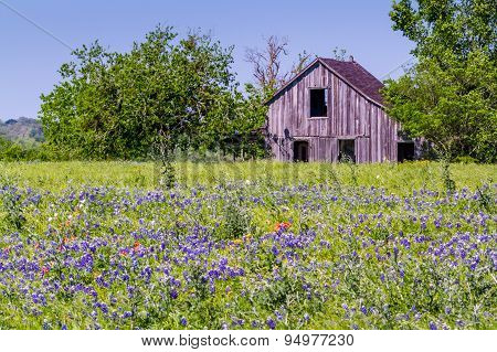 An Old Barn In A Beautiful Field Blanketed With The Famous Texas Bluebonnet
