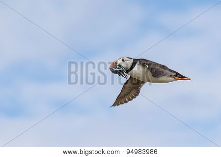 Atlantic puffin in flight with a catch of fish
