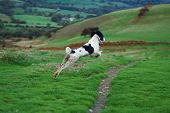 springer spaniel leaping through the air in full flight in the countryside poster