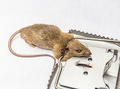 a rat and a trap on white background tock photo poster