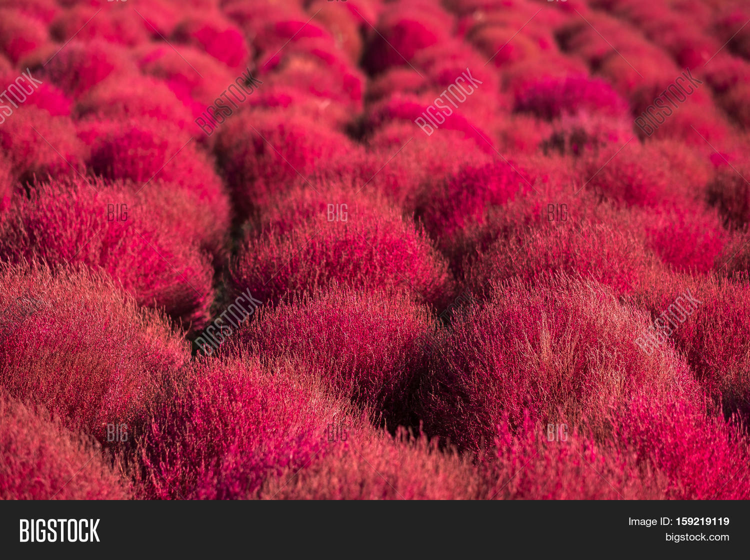 Kochia Scoparia Field Image Photo Free Trial Bigstock