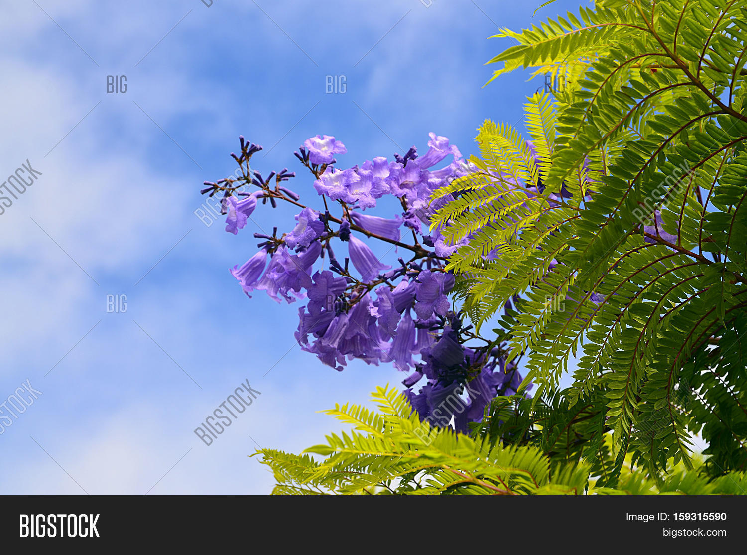Jacaranda mimosifolia image photo free trial bigstock jacaranda mimosifolia with purple blue flowers against the sky in tenerifecanary islands izmirmasajfo