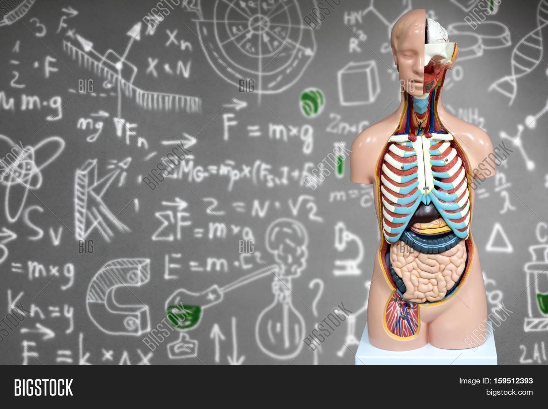 Human Anatomy Image Photo Free Trial Bigstock