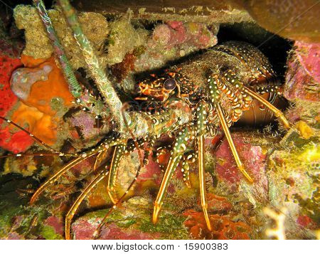 Caribbean Spiny Lobster, Panulirus Argus, Emerges From Den On Reef Near The Island Of Dominica