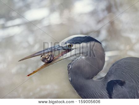 Great Blue Heron eating a small turtle in Florida wetlands