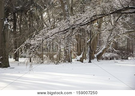 park. Frozen tree branch in winter ice.