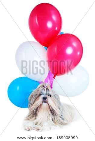Long hair shih tzu dog holiday with red, blue and white balloons. On white background. Holiday celebration concept.