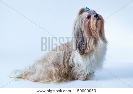 Shih tzu dog with long hair sitting and looking aside on white and blue background