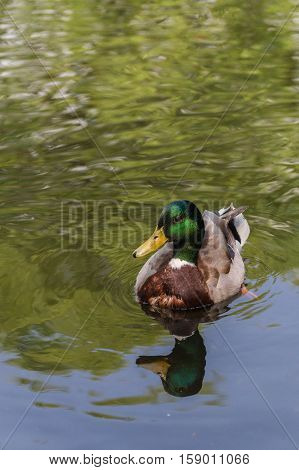 Close-up of a swimming Mallard duck on a sunny day. Portrait of a Mallard Duck