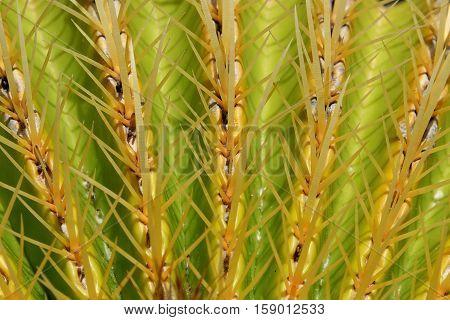 cactus macro barrel cactus - mother in law`s cushion
