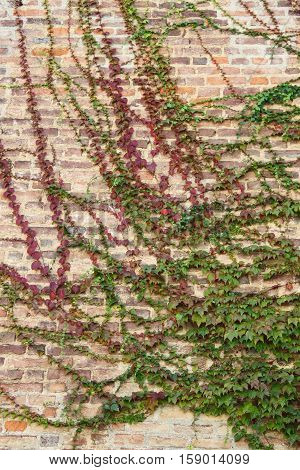 Closeup view of green ivy leaves covering a wall