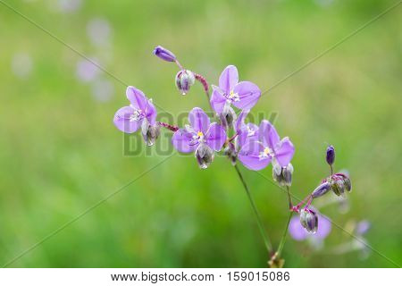 Sweet purple flowers in forest at Phu Soi Dao National Park Thailand